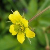 cerentel(cernatel) planta medicinala-herb bennet