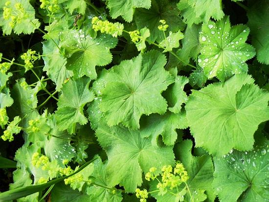 cretisoara planta medicinala-lady's mantle herb