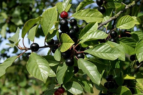 crusin planta medicinala-alder buckthorn herb
