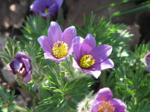 pasque-flower deditei
