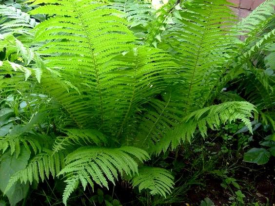 feriga planta medicinala-male fern herb