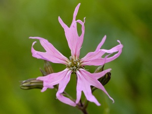 floarea cucului planta medicinala-ragged robin herb