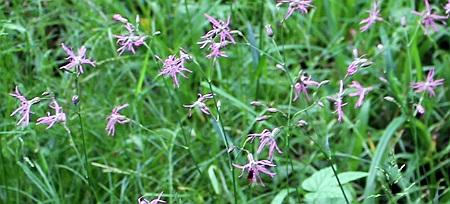 ragged robin herb-floarea cucului planta medicinala