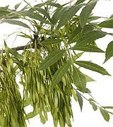 Frasin-Arbore Medicinal