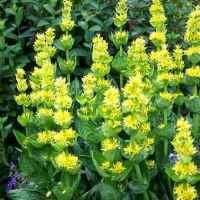 ghintura galbena planta medicinala-yellow gentian herb