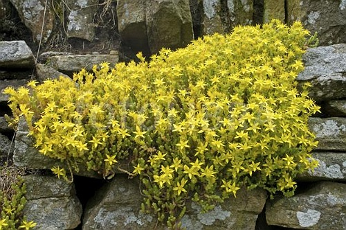 Iarba de Soaldina -Planta Medicinala