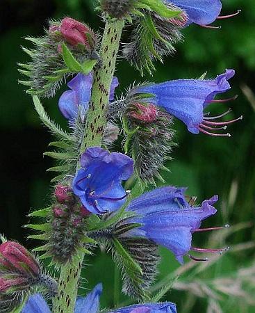 Viper's Bugloss Herb