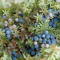 ienuparul planta medicinala-juniper herb