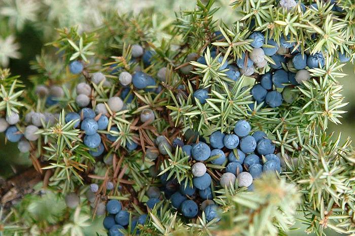 Ienuparul Planta Medicinala