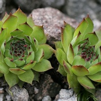 urechelnita planta medicinala-houseleek herb