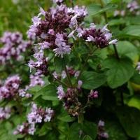 sovarful planta medicinala-oregano herb