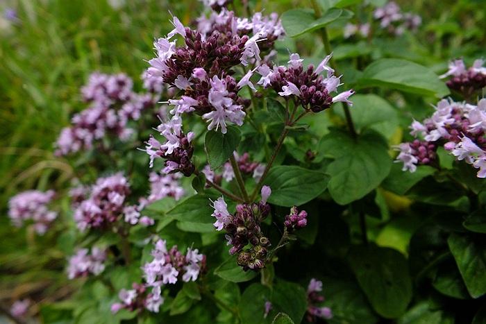 sovarful planta medicinala