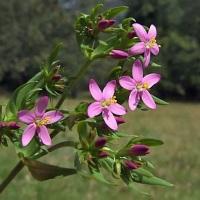 tintaura planta medicinala-centaury herb