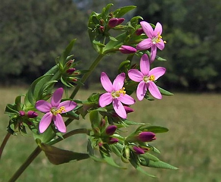 Centaury Herb