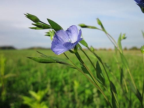 Flax Herb