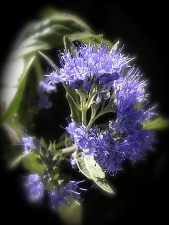 Isopul Planta Medicinala