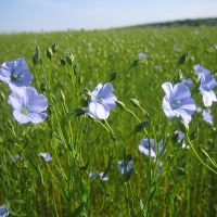 inul planta medicinala-flax herb