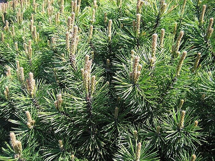 jneapanul planta medicinala-dwarf mountain pine herb