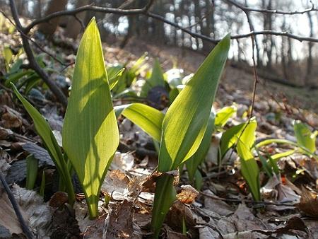 Wild Garlic Herb