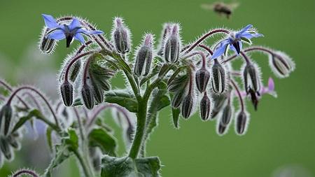 Limba Mielului Planta Medicinala