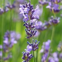 levantica planta medicinala-lavender herb