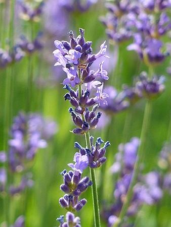 Levantica Planta Medicinala