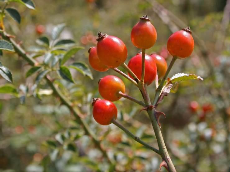 Maces planta medicinala-Dog rose herb