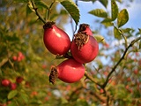 maces planta medicinala