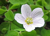 Wood Sorrel -Natural Treatments