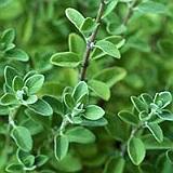 maghiranul planta medicinala