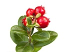 Cowberry herb