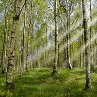Mesteacan arbore medicinal-Birch medicinal tree
