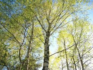 Mesteacan arbore medicinal