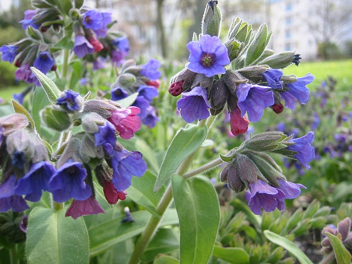 Mierea Ursului Planta medicinala-Lungwort Herbs