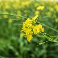 Mustarul alb Planta Medicinala-White mustard Herb